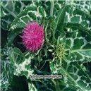 Pestrec mariánsky - semená 4 g
