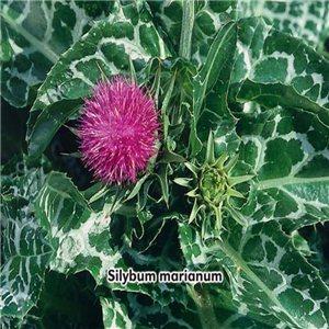 Ostropestřec mariánský (Silybum marianum) - semena 4 g