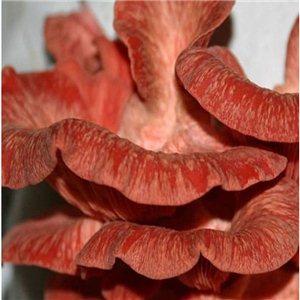 Hlíva růžová (Pleurotus djamour)  sadba hub