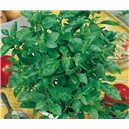 Saracénia (Sarracenia oreophila)