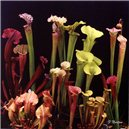 Saracénia (Sarracenia different mix)