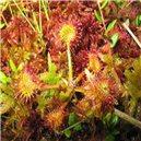 Rosnatka (Drosera rotundifolia)