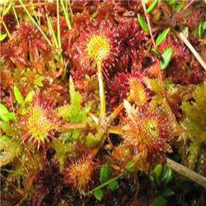 Rosička (Drosera rotundifolia)