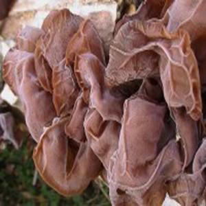 Ucho jidášovo (semena)