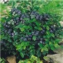 Kanadská borůvka (rostlina: Vaccinium corymbosum) - semena 5 ks