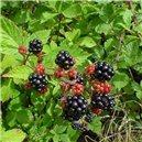 Ostružník (rostlina: Rubus leucodermis) - semena 5 ks