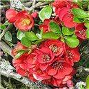 Japonský kdoulovec (rostlina: Chaenomeles japonica) - semena 5 ks
