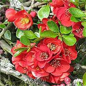 Japonský dulovec (rastlina: Chaenomeles japonica) - semená 5 ks
