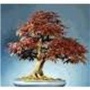 Červený javor (rastlina: Acer rubrum) - semená 5 ks