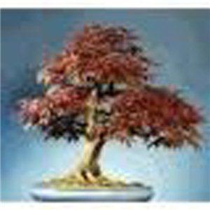 Červený javor  (rostlina: Acer rubrum) - semena 5 ks