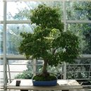 Javor (rastlina: Acer oblongum) - semená 5 ks