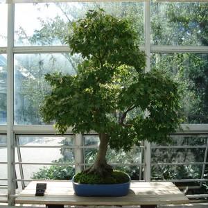 Javor (Acer oblongum) 5 semen