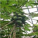 Melónová papája (rastlina: Papaya carica) - semená 4 ks