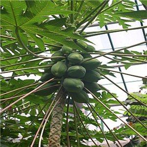 Melounová papája (rostlina: Papaya carica) - semena 4 ks