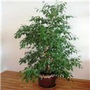 Fikus (rastlina: Ficus benjamina) - semená 5 ks