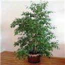 Fíkus (rostlina: Ficus benjamina) - semena 5 ks