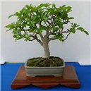 Figovník smokvoň (rastlina: Ficus carica) - semená 4 ks