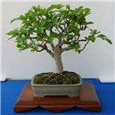 Fíkovník smokvoň (rostlina: Ficus carica) - semena 4 ks
