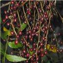 Pistácie čínská (rostlina: Pistacia chinensis) - semena 4 ks