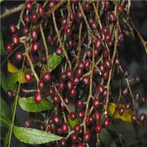 Pistácie čínska (rastlina: Pistacia chinensis) - semená 4 ks