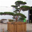 Tis japonský (rastlina: Taxus cuspidata) - semená 4 ks