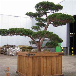 Tis japonský (rostlina: Taxus cuspidata) - semena 4 ks