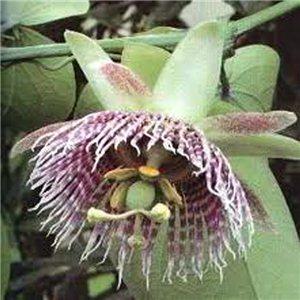 Mučenka sladká (rastlina: Passiflora ligularis) - semienka rastliny 4 ks