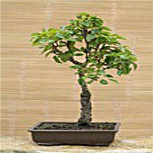 Hruška obyčajná (rastlina: Pyrus communis) - semená 4 ks