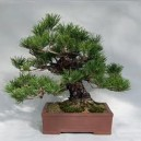 Borovice thunbergova (rostlina: Pinus thungergii) - semena 4 ks