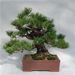Borovice thunbergova (Pinus thungergii) 4 semena