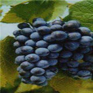 Réva amurská (rastlina: Vitis amurensis) - semená 4 ks