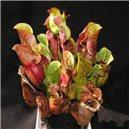 Sarracenia   Špirlice   Sarracenia purpurea) masozravé - semínka rostliny 20 ks
