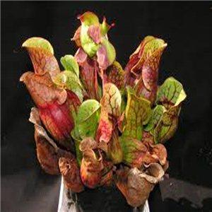 Sarracenia Saracénia Sarracenia purpurea) Mäsožravé - semienka rastliny 20 ks