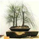 Přesličník obyčajný (rastlina: Casuarina cunninghamiana) - semená 5 ks