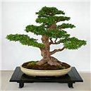Brest čínsky (rastlina: Ulmus parvifolia) - semená 5 ks
