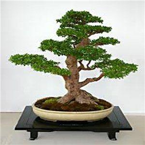 Jilm čínský ( Ulmus parvifolia) 5 semen