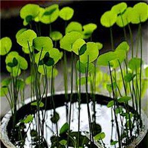 Gotu kola (rastlina: Gotu kola) - semienka rastliny 5 ks