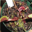 Drosera Akai ryu   Rosnatka masožrava - semínka rostliny 20 ks