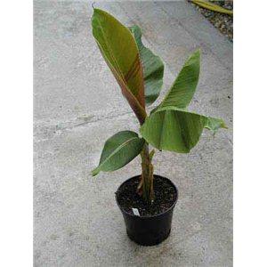 Banánovník Snehový (musa sikkimensis) - semená banánovníka 5 ks