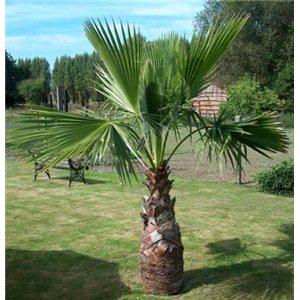 Washingtonie Mohutná (rostlina: washingtonia robusta) – 7 semen washingtonie