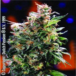 California Orange - semenná banka Dutch Passion  5 semínek – femizinovaných