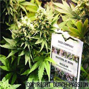 Masterkush - semenná banka Dutch Passion - 10 semien feminizovaných