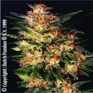 White Widow 10semen (feminizovaná semienka) Dutch Passion