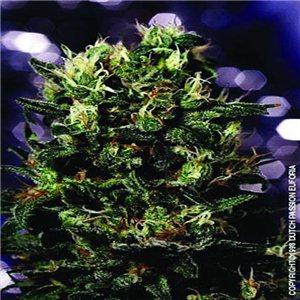 Euforia - semienka 10 ks (štandardizovaná semienka) Dutch Passion