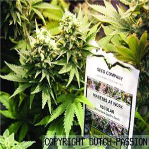 Masterkush 10semen (standardizovaná semínka) Dutch Passion