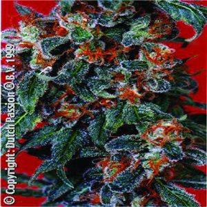 Orange Bud 10semen (standardizovaná semínka) Dutch Passion