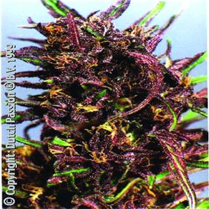 Purple 1  10semen (standardizovaná semínka) Dutch Passion