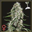 Super Silver Haze - semená 10 ks (Indoor), feminizovaná semená Green House Seeds