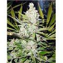 Super Silver Haze - semená 5 ks (Indoor), štandardizovaná Green House Seeds