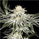 White Widow - semená 5 ks (Indoor), štandardizovaná Green House Seeds